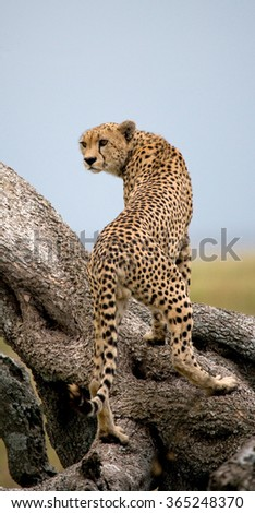 Cheetah on a tree in the savannah. Kenya. Tanzania. Africa. National Park. Serengeti. Maasai Mara. An excellent illustration. - stock photo