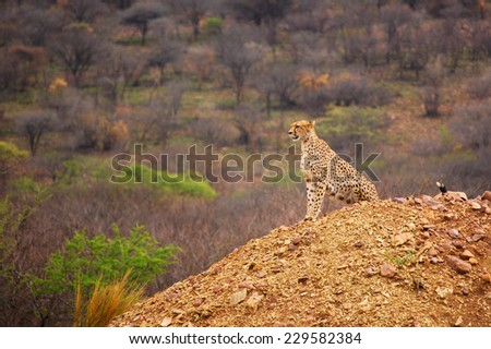 Cheetah on hill in Serengeti National Park, Africa - stock photo