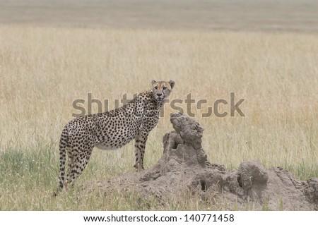 Cheetah on mount - stock photo