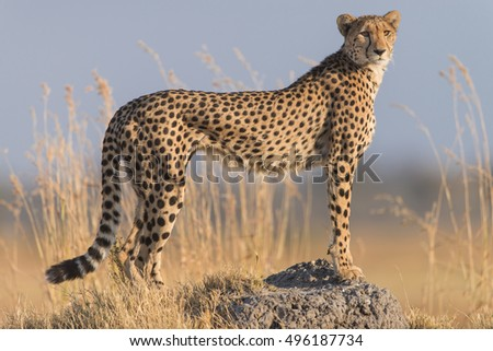 Cheetah on termite hill in morning light. Moremi National Park, Khwai area.