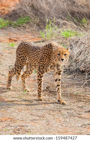 cheetah on the hunt in the Kalahari desert of Kgalagadi National Park, South Africai
