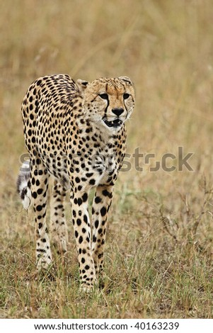 Cheetah on the hunt in the tall grasses of the Serengeti Plains in the Masai Mara Reserve in Kenya.