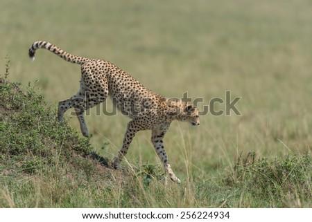 Cheetah on the plains of the masai mara.  - stock photo
