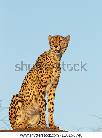 Cheetah on the rocks - stock photo
