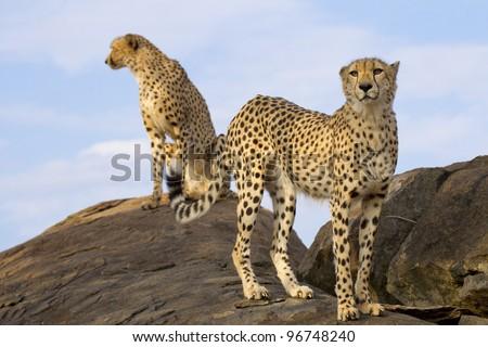 Cheetah pair (Acinonyx jubatus) on top of a rock, South Africa - stock photo