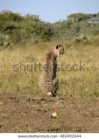 Cheetah, Phinda Private Game Reserve, South Africa