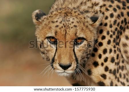 cheetah portrait [Acinonyx jubatus] - stock photo