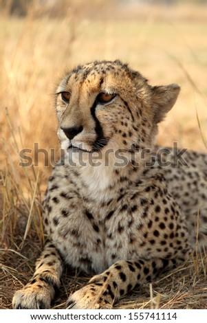 Cheetah portrait, close up  - stock photo