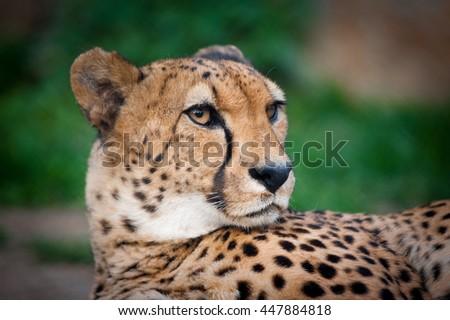 cheetah portrait closeup in summer - stock photo