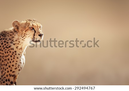 Cheetah portrait  - Kalahari desert - South Africa
