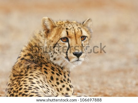 Cheetah relaxes by the road, South Africa - stock photo