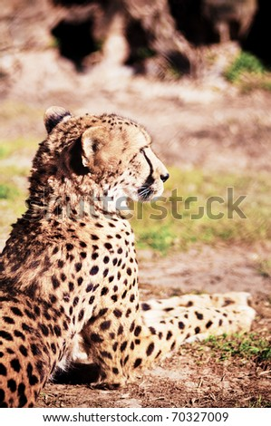 Cheetah resting on the grass in sunny day