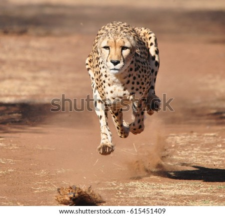 stock-photo-cheetah-running-completely-a