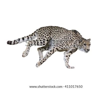 Cheetah  Running ,Isolated on white Background - stock photo