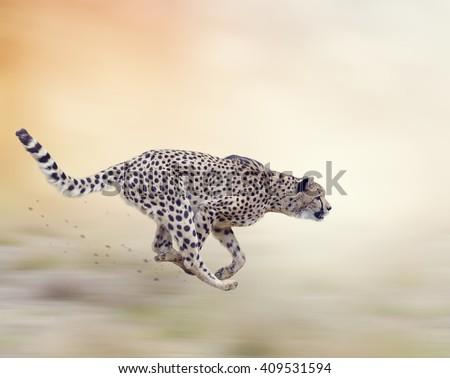 Cheetah  Running on Soft Focus Background - stock photo