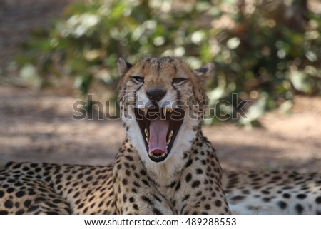 Cheetah's head yawning showing teeth