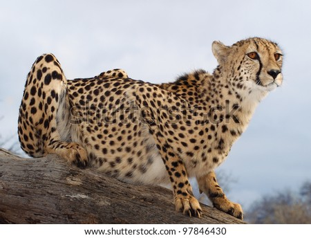 Cheetah sentry. Watching you from a height.