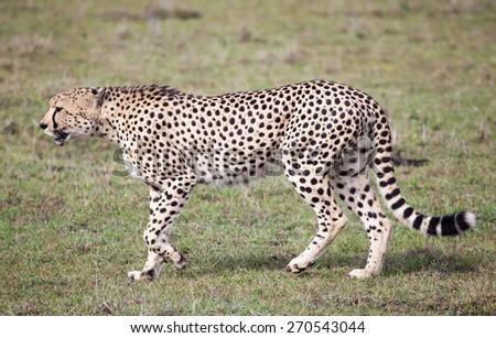 Cheetah side view, Serengeti National park, Tanzania, Africa - stock photo