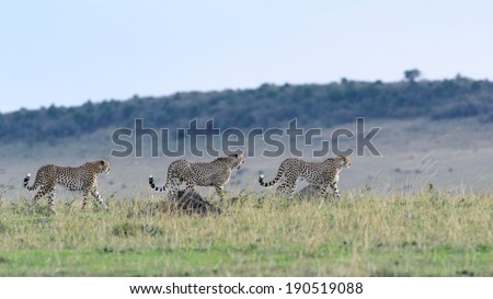 Cheetah silhouette with grass in foreground - stock photo