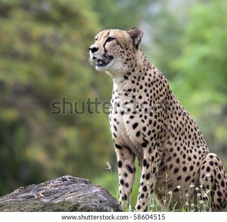 Cheetah Sitting and Staring by Rock - stock photo