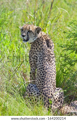 Cheetah sitting in the grass  - stock photo