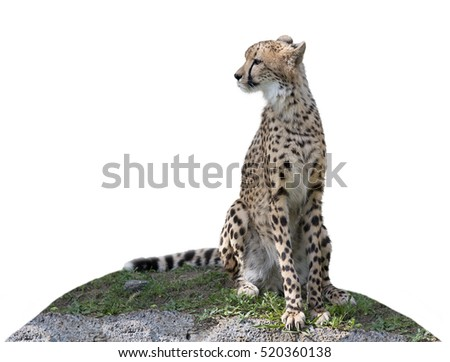 Cheetah sitting on a hill isolated on white background