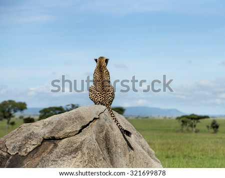 Cheetah sitting on a rock and looking away, Serengeti, Tanzania - stock photo