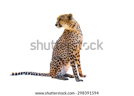 Cheetah sitting side view, on white background, isolated. - stock photo