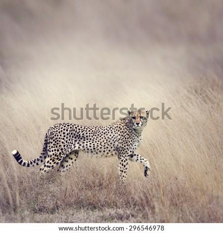 Cheetah Stalking Through The  Grassland - stock photo