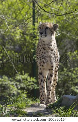 Cheetah Standing Tall - stock photo