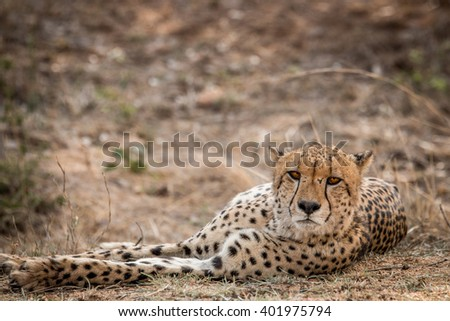 Cheetah starring in the Kruger National Park, South Africa. - stock photo