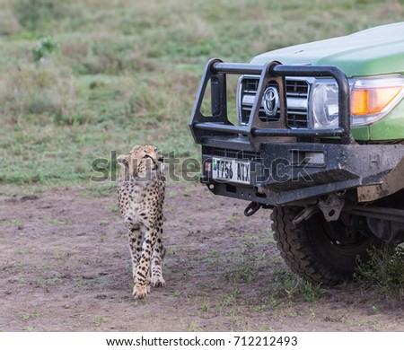 CHEETAH, TOYOTA CAR, SERENGETI, TANZANIA - 10 MARCH 2017: The young cheetah is watching the car. On 10 March 2017, national park Serengeti, Tanzania