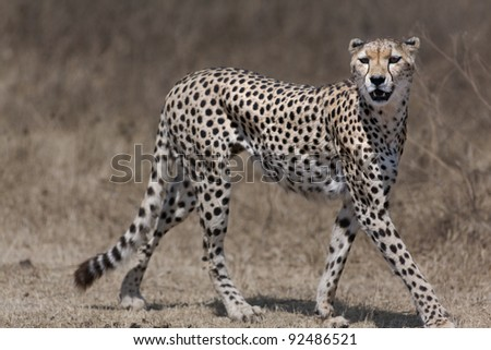 Cheetah walking across. Serengeti - Africa