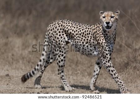 Cheetah walking across. Serengeti - Africa - stock photo