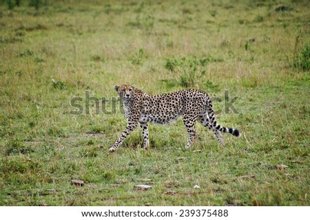 Cheetah walking in green grass at Maasai Mara National Park, Kenya - stock photo