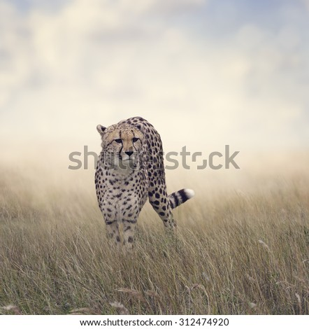 Cheetah Walking in The Grassland - stock photo