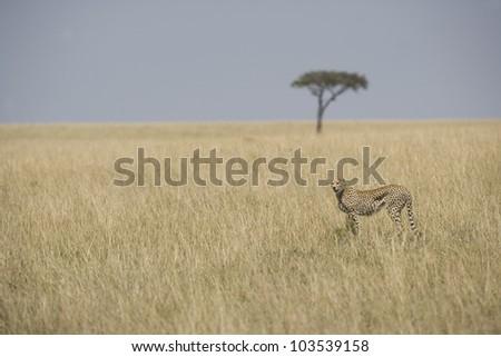 Cheetah walking in the Masai Mara - stock photo