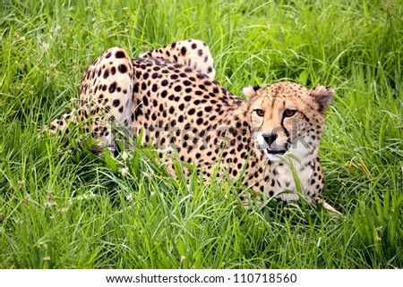Cheetah wild cat from Africa crouching in long green grass - stock photo