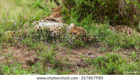 Cheetah with cub in Masai Mara - stock photo
