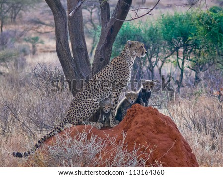 Cheetah with three cubs. Cheetah family perched on a termite mound, Samburu National Reserve, Africa - stock photo