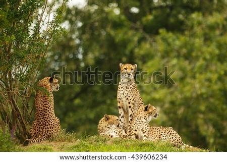 Cheetahs are very close - stock photo