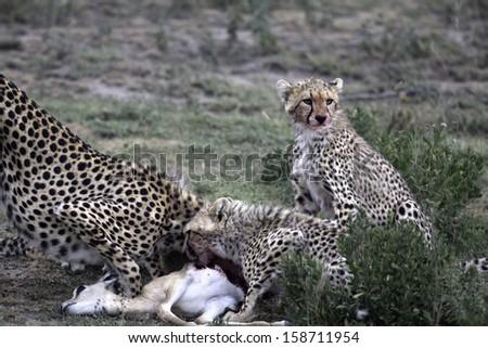 Cheetahs feeding on gazelle - stock photo