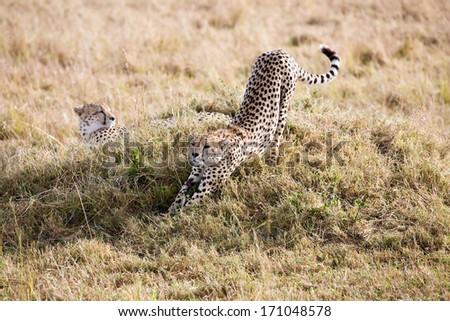 Cheetahs in the Masai Mara reserve in Kenya Africa - stock photo