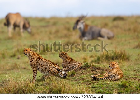 Cheetahs on a termite mound with Eland antelopes in the background in Masai Mara, Kenya - stock photo