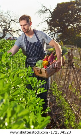 Chef plucking fresh veggies off the local sustainable organic farm - stock photo