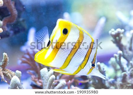 Chelmon rostratus (Copperband Butterflyfish) - colorful sea fish - stock photo