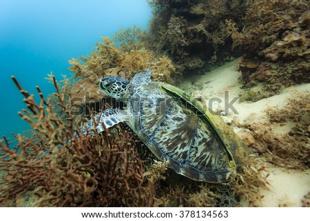 Chelonia mydas black sea turtle on the coral reef in the Philippines