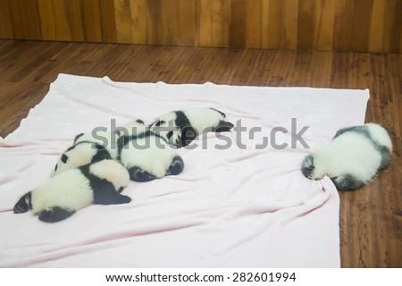 Chengdu, China - October 18, 2014 - Newborn baby pandas sleeping in Research Center of Giant Panda Breeding in Chengdu, Sichuan Province, China - stock photo