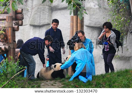 CHENGDU - MAY 6: Foreign and Chinese media film the first panda twins born last year on May 6, 2012 in Chengdu, China . Pandas are endangered species and only about 1,600 live around the world today. - stock photo