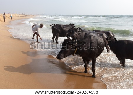CHENNAI, INDIA-FEBRUARY 10: Bathing of a cows on February 10, 2013 in Chennai, India. Cows swimming in the Indian Ocean. - stock photo